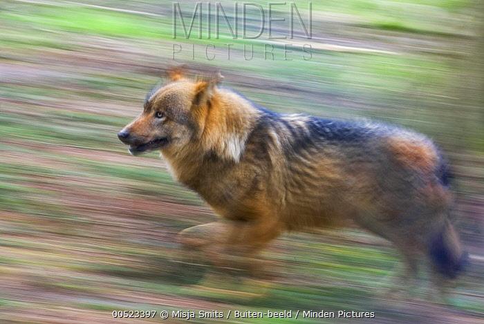 European Wolf (Canis lupus) running, Anholt, Germany  -  Misja Smits/ Buiten-beeld