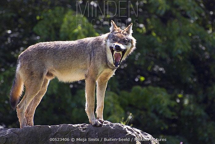 European Wolf (Canis lupus) yawning, Germany  -  Misja Smits/ Buiten-beeld