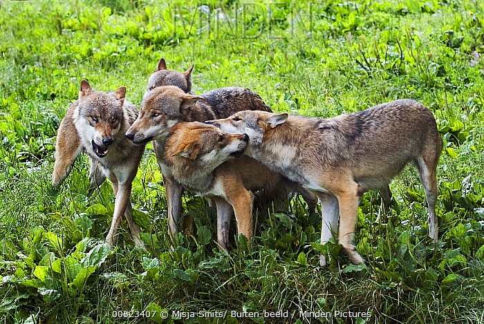 European Wolf (Canis lupus) pack showing submissive and dominant behavior, Germany  -  Misja Smits/ Buiten-beeld