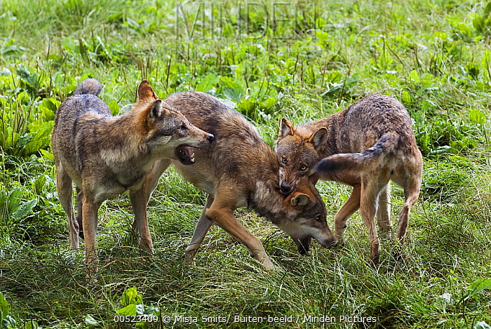 European Wolf (Canis lupus) pack showing submissive and aggressive behavior, Germany  -  Misja Smits/ Buiten-beeld