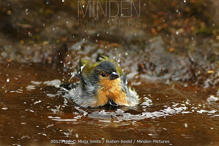 Chaffinch (Fringilla coelebs) bathing, Madeira, Portugal  -  Misja Smits/ Buiten-beeld