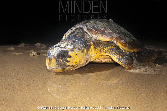 Loggerhead Sea Turtle (Caretta caretta) female returning to sea after laying eggs, iSimangaliso Wetland Park, South Africa  -  Jelger Herder/ Buiten-beeld