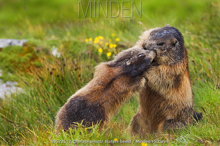 Alpine Marmot (Marmota marmota) pair fighting, Hohe Tauern National Park, Austria  -  Misja Smits/ Buiten-beeld