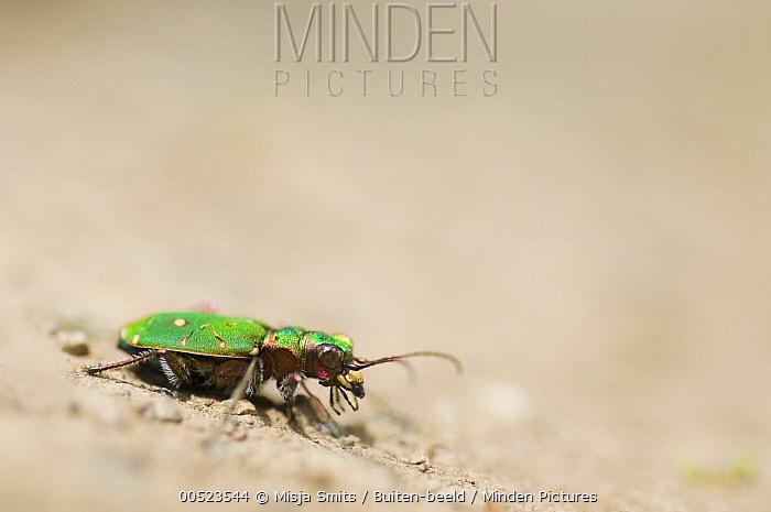 Green Tiger Beetle (Cicindela campestris), France  -  Misja Smits/ Buiten-beeld