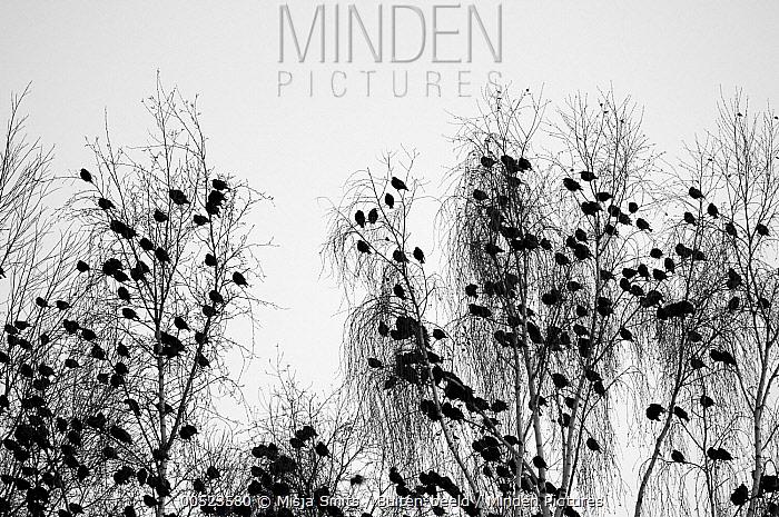 Common Starling (Sturnus vulgaris) resting in a treetop, Woerden, Netherlands  -  Misja Smits/ Buiten-beeld