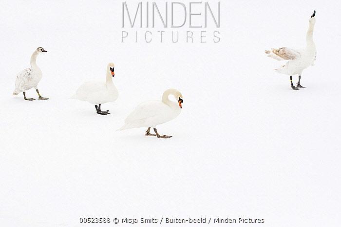 Mute Swan (Cygnus olor) group on ice, Hazerswoude-Dorp, Netherlands  -  Misja Smits/ Buiten-beeld