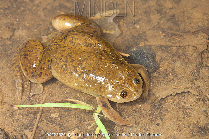 minden pictures stock photos african clawed frog xenopus laevis rh mindenpictures com Baby African Clawed Frog African Dwarf Frog Habitat