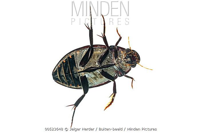 Great Silver Beetle (Hydrophilus piceus)underside, Didam, Netherlands  -  Jelger Herder/ Buiten-beeld