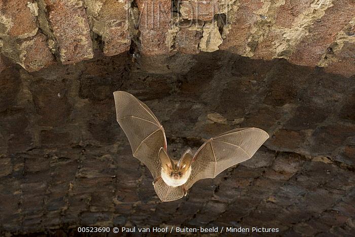 Brown Big-eared Bat (Plecotus auritus) flying in a brick ice house during swarming period, Bergen, Netherlands  -  Paul van Hoof/ Buiten-beeld