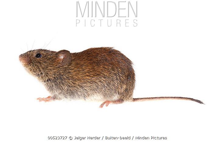 Bank Vole (Clethrionomys glareolus), Grave, Netherlands  -  Jelger Herder/ Buiten-beeld