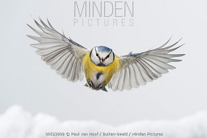 Blue Tit (Cyanistes caeruleus) flying over snow, Arnhem, Netherlands  -  Paul van Hoof/ Buiten-beeld