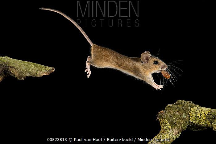 Wood Mouse (Apodemus sylvaticus) carrying a beech nut to its winter cache, Eindhoven, Netherlands  -  Paul van Hoof/ Buiten-beeld