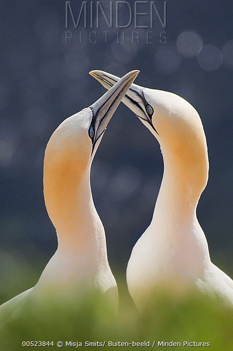 Northern Gannet (Morus bassanus) pair courting, Helgoland, Germany  -  Misja Smits/ Buiten-beeld