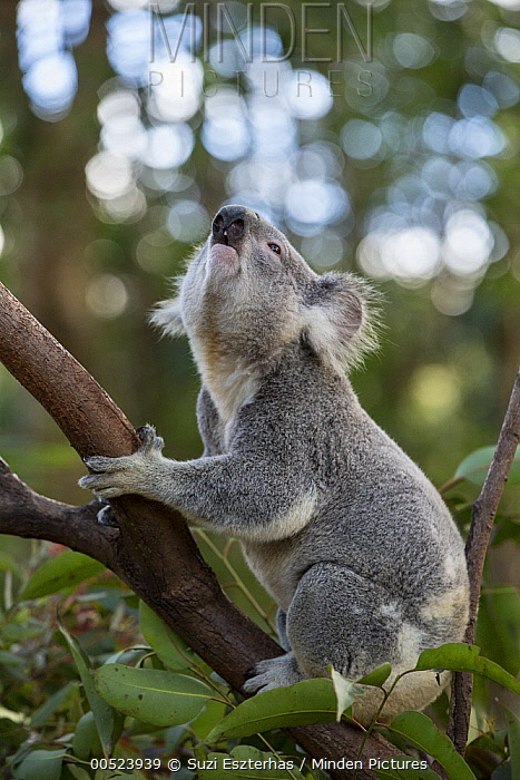 Koala (Phascolarctos cinereus) male displaying to female, Queensland, Australia  -  Suzi Eszterhas