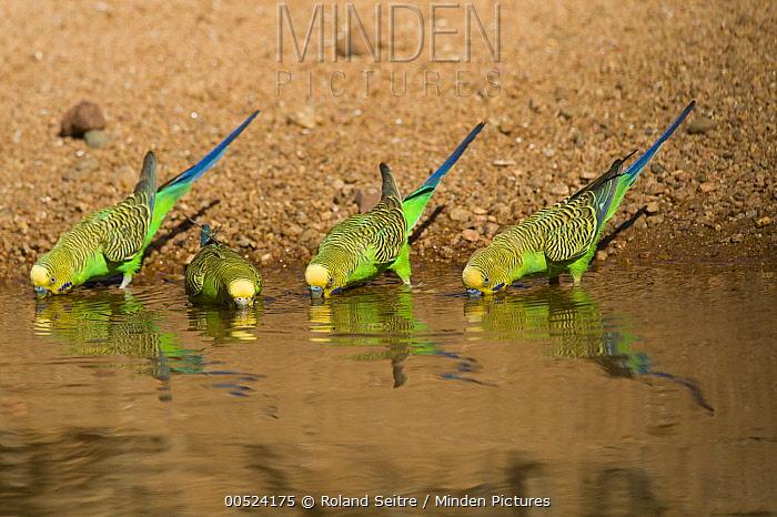 Budgerigar (Melopsittacus undulatus) group drinking at waterhole, Dajarra, Queensland, Australia  -  Roland Seitre