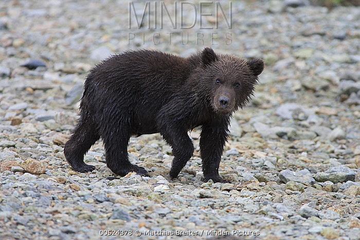 Grizzly Bear (Ursus arctos horribilis) cub, Katmai National Park, Alaska  -  Matthias Breiter