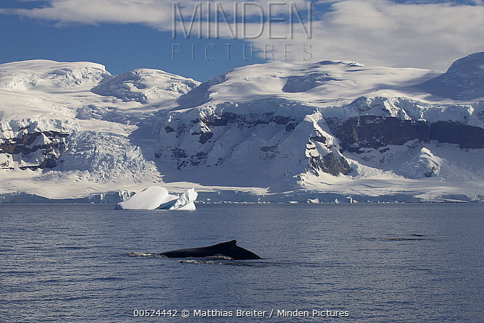 Humpback Whale (Megaptera novaeangliae) surfacing near coast, Gerlache Strait, Antarctic Peninsula, Antarctica  -  Matthias Breiter