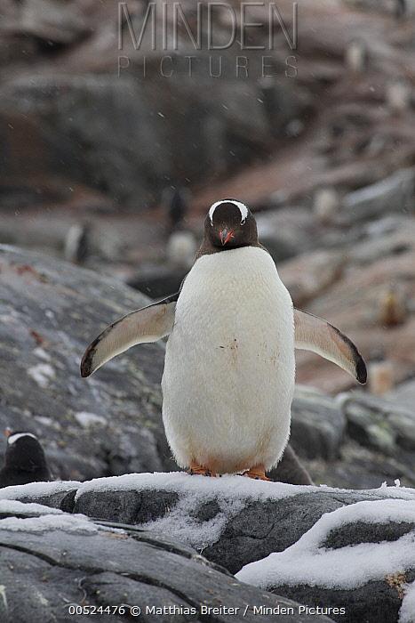 Gentoo Penguin (Pygoscelis papua), Petermann Island, Antarctic Peninsula, Antarctica  -  Matthias Breiter