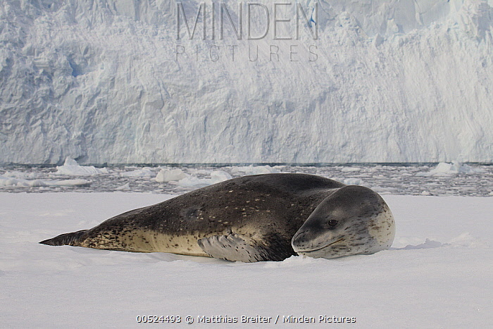 Leopard Seal (Hydrurga leptonyx) on ice floe, Neko Harbor, Antarctic Peninsula, Antarctica  -  Matthias Breiter