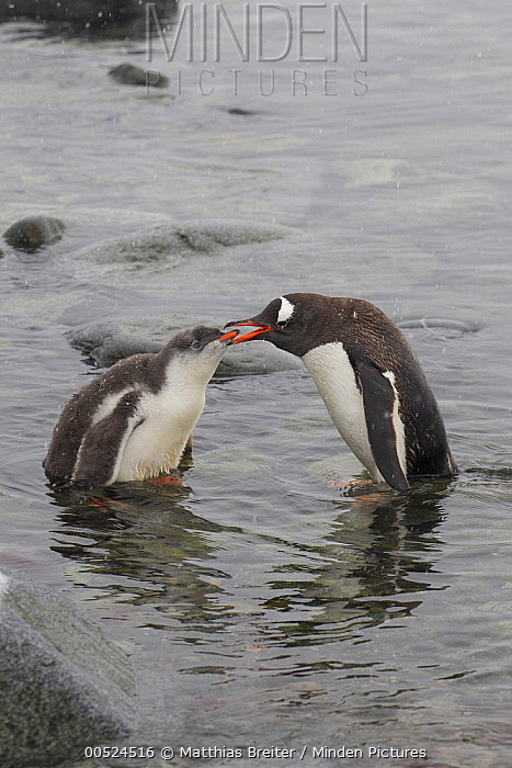 Gentoo Penguin (Pygoscelis papua) feeding chick, Dorian Bay, Antarctic Peninsula, Antarctica  -  Matthias Breiter