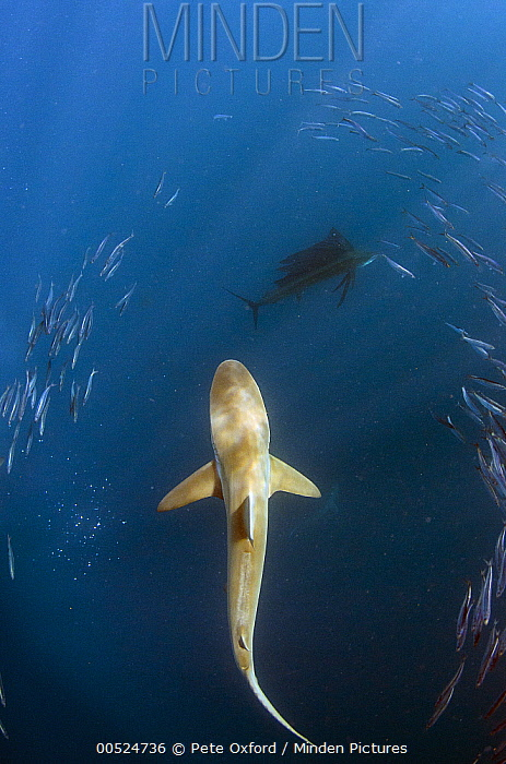 Bronze Whaler Shark (Carcharhinus brachyurus) hunting Pacific Sardines (Sardinops sagax), Eastern Cape, South Africa  -  Pete Oxford