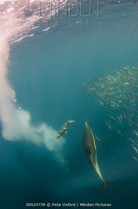 Long-beaked Common Dolphin (Delphinus capensis) and diving Cape Gannet (Morus capensis) hunting Pacific Sardines (Sardinops sagax), Eastern Cape, South Africa  -  Pete Oxford