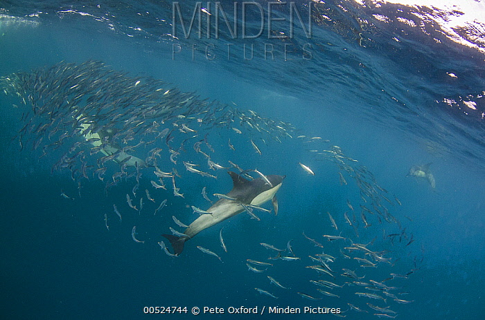 Long-beaked Common Dolphin (Delphinus capensis) hunting Pacific Sardines (Sardinops sagax), Eastern Cape, South Africa  -  Pete Oxford