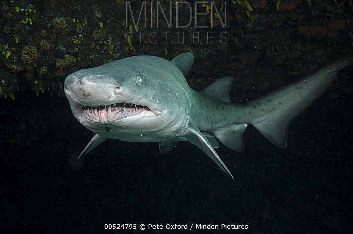 Grey Nurse Shark (Carcharias taurus), Umkomaas, Kwazulu Natal, South Africa  -  Pete Oxford