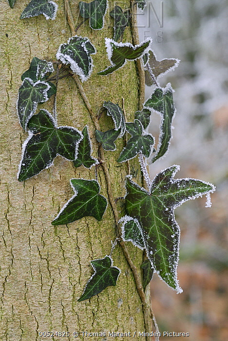 English Ivy (Hedera helix) covered in frost, Switzerland  -  Thomas Marent
