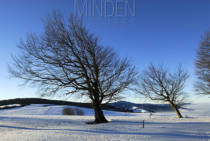 Beech (Fagus sp) trees, Black Forest, Germany  -  Thomas Marent