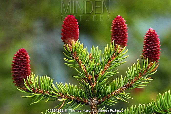 Norway Spruce (Picea abies) female cones, Switzerland  -  Thomas Marent