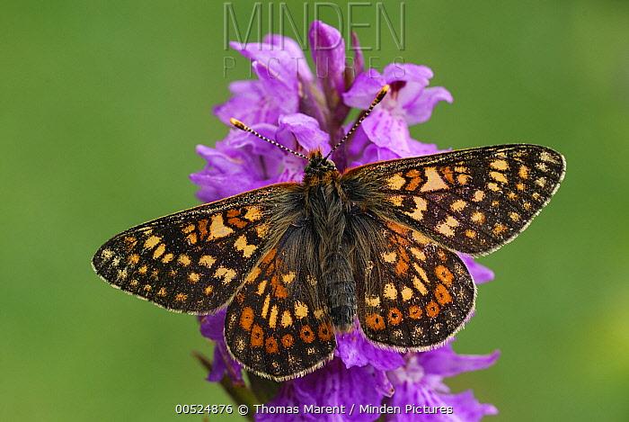 Marsh Fritillary (Euphydryas aurinia) butterfly, Alps, Switzerland  -  Thomas Marent
