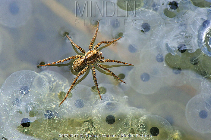 Fishing Spider (Dolomedes sp)walking on water over Common Frog (Rana temporaria) spawn, Switzerland  -  Thomas Marent