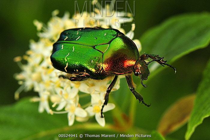 Green Rose Chafer (Cetonia aurata) beetle, Switzerland  -  Thomas Marent