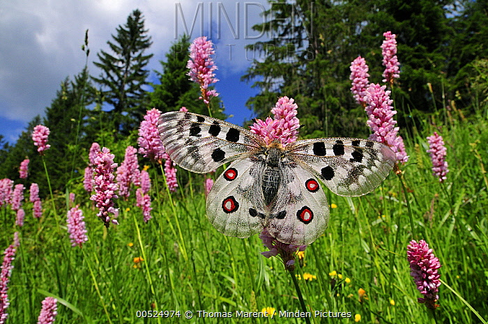 Mountain Apollo (Parnassius apollo) butterfly on Common Bistort (Polygonum bistorta), Switzerland  -  Thomas Marent