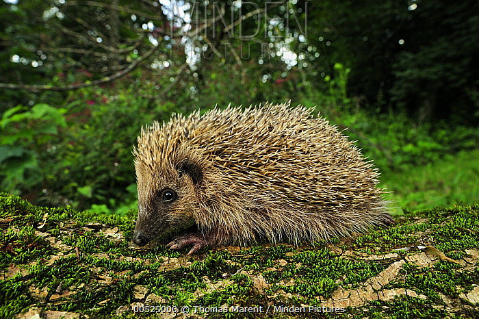 Brown-breasted Hedgehog (Erinaceus europaeus) juvenile, Switzerland  -  Thomas Marent
