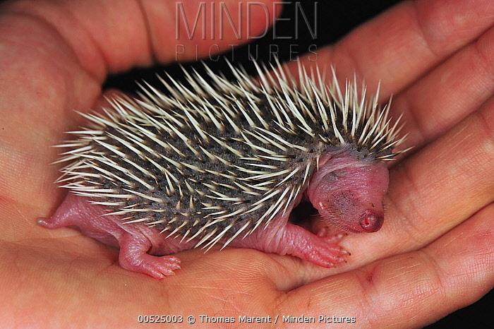 Brown-breasted Hedgehog (Erinaceus europaeus) baby, Switzerland  -  Thomas Marent