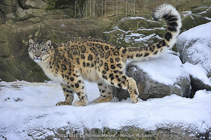 Snow Leopard (Uncia uncia), Switzerland  -  Thomas Marent