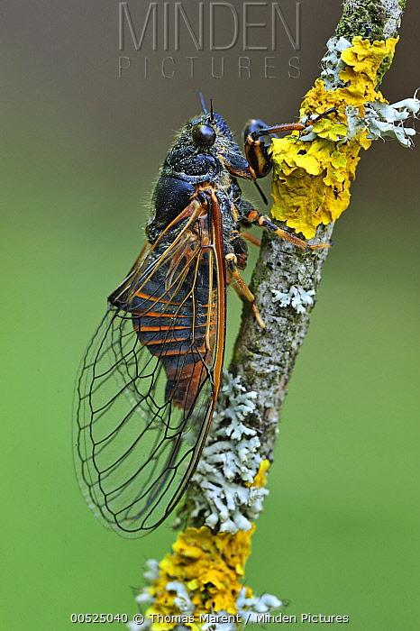Cicada (Cicadetta cantilatrix), Effingen, Switzerland  -  Thomas Marent