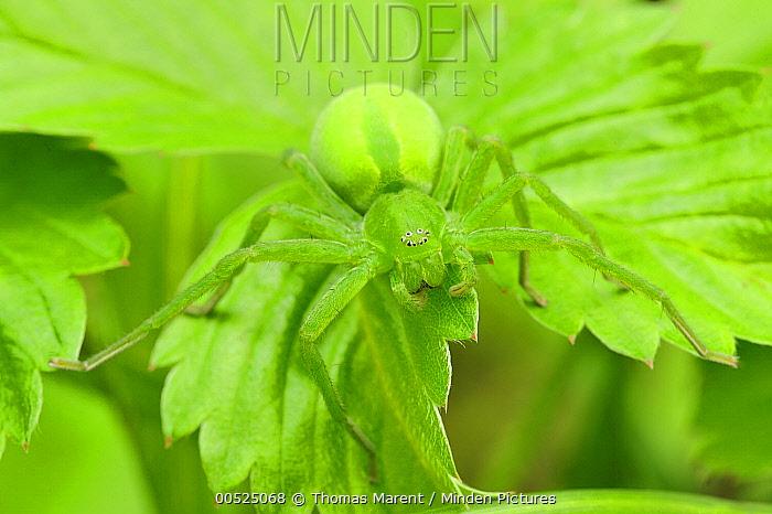 Green Spider (Micrommata virescens) female, Switzerland  -  Thomas Marent