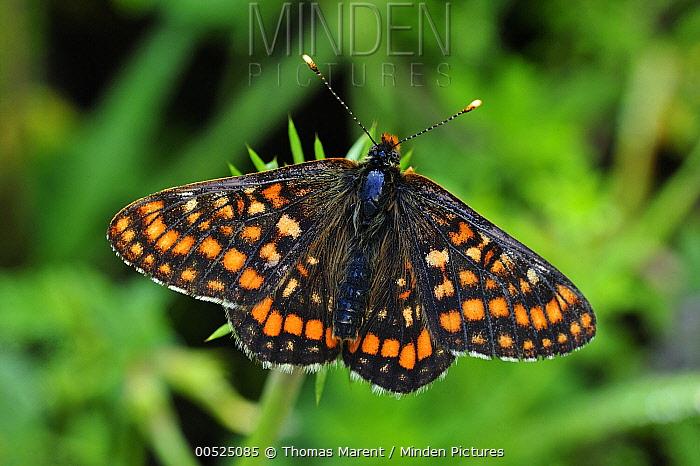 Asian Fritillary (Euphydryas intermedia) butterfly, Switzerland  -  Thomas Marent