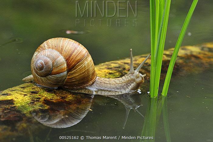 Edible Snail (Helix pomatia), Switzerland  -  Thomas Marent