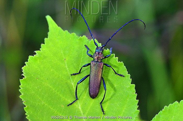 Musk Beetle (Aromia moschata), Switzerland  -  Thomas Marent