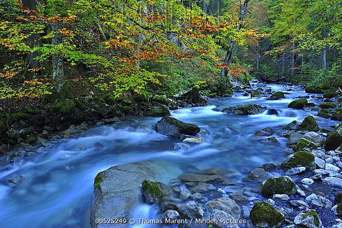 European Beech (Fagus sylvatica) forest around a creek, Switzerland  -  Thomas Marent