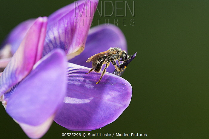 Mining Bee (Andrena sp) on a Lupine (Lupinus sp) flower with attached pollen, Nova Scotia, Canada  -  Scott Leslie