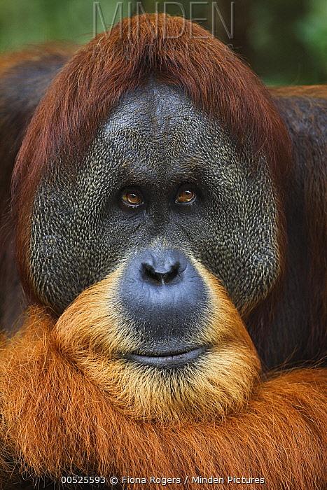 Sumatran Orangutan (Pongo abelii) twenty-six year old male, named Halik, Gunung Leuser National Park, Sumatra, Indonesia  -  Fiona Rogers