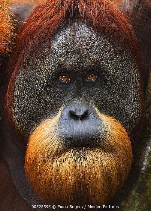 Sumatran Orangutan (Pongo abelii) twenty-six year old male, named Halik, biting lip, Gunung Leuser National Park, Sumatra, Indonesia  -  Fiona Rogers