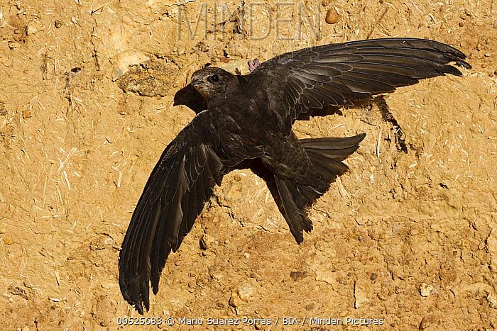 Common Swift (Apus apus), Castile-La Mancha, Spain  -  Mario Suarez Porras/ BIA