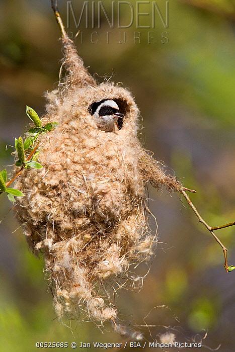 Eurasian Penduline-Tit (Remiz pendulinus) male at nest, Brandenburg, Germany  -  Jan Wegener/ BIA