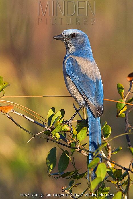 Florida Jay (Aphelocoma coerulescens), Florida  -  Jan Wegener/ BIA